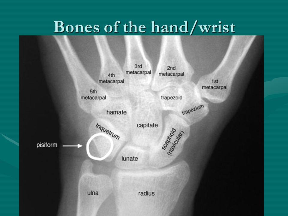 Bones of the hand/wrist