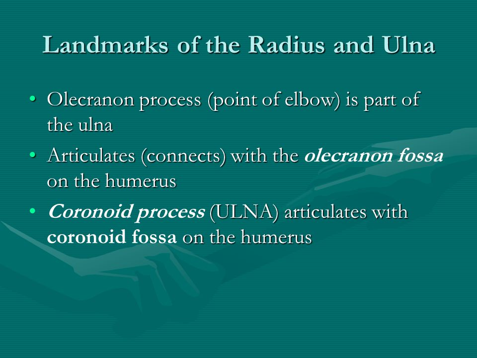 Landmarks of the Radius and Ulna Olecranon process (point of elbow) is part of the ulnaOlecranon process (point of elbow) is part of the ulna Articulates (connects) with the on the humerusArticulates (connects) with the olecranon fossa on the humerus (ULNA) articulates with on the humerusCoronoid process (ULNA) articulates with coronoid fossa on the humerus