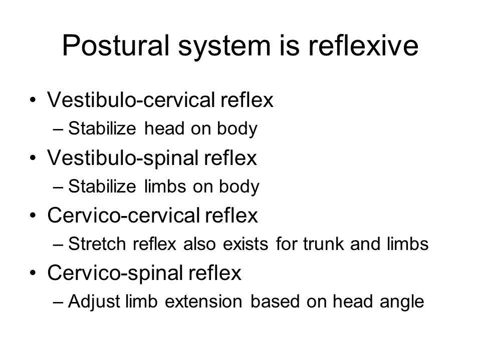Postural system is reflexive Vestibulo-cervical reflex –Stabilize head on body Vestibulo-spinal reflex –Stabilize limbs on body Cervico-cervical refle