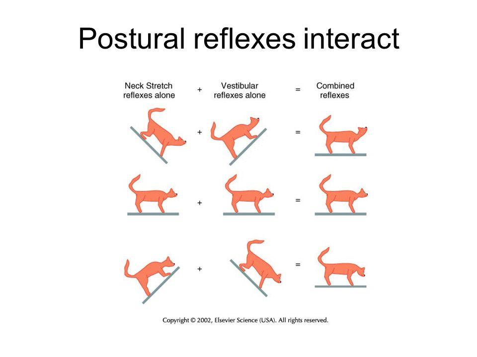 Postural reflexes interact