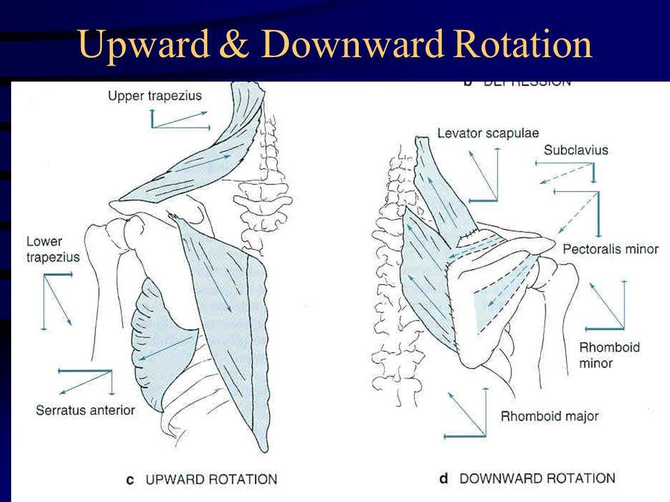 Upward & Downward Rotation