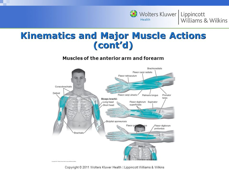 Copyright © 2011 Wolters Kluwer Health | Lippincott Williams & Wilkins Kinematics and Major Muscle Actions (cont'd) Muscles of the anterior arm and forearm