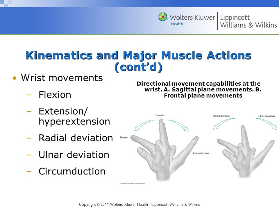 Copyright © 2011 Wolters Kluwer Health | Lippincott Williams & Wilkins Kinematics and Major Muscle Actions (cont'd) Wrist movements –Flexion –Extension/ hyperextension –Radial deviation –Ulnar deviation –Circumduction Directional movement capabilities at the wrist.