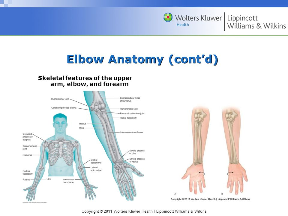 Copyright © 2011 Wolters Kluwer Health | Lippincott Williams & Wilkins Elbow Anatomy (cont'd) Ligaments –Ulnar (medial) collateral –Radial (lateral) collateral –Annular Major ligaments and the olecranon bursa of the elbow.