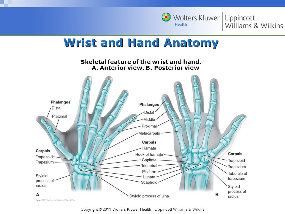 Copyright © 2011 Wolters Kluwer Health | Lippincott Williams & Wilkins Wrist Anatomy (cont'd) Radiocarpal joint –Radius with scaphoid, lunate, and triquetrum –Condyloid joint Sagittal plane motions (i.e., flexion, extension, and hyperextension) Frontal plane motions (i.e., radial deviation and ulnar deviation) Circumduction