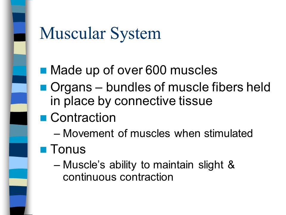 Muscular System Made up of over 600 muscles Organs – bundles of muscle fibers held in place by connective tissue Contraction –Movement of muscles when