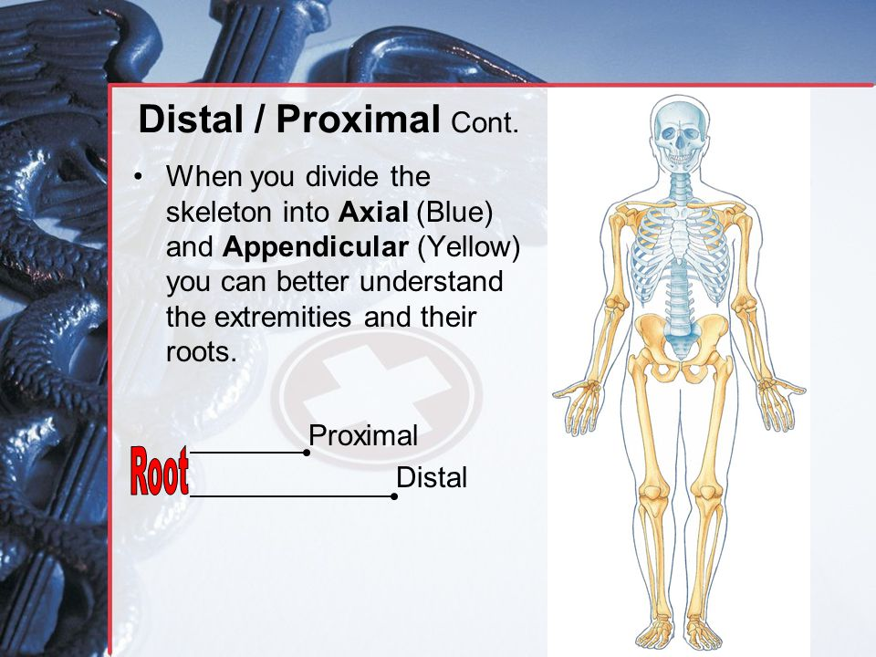 Distal / Proximal Cont. When you divide the skeleton into Axial (Blue) and Appendicular (Yellow) you can better understand the extremities and their r