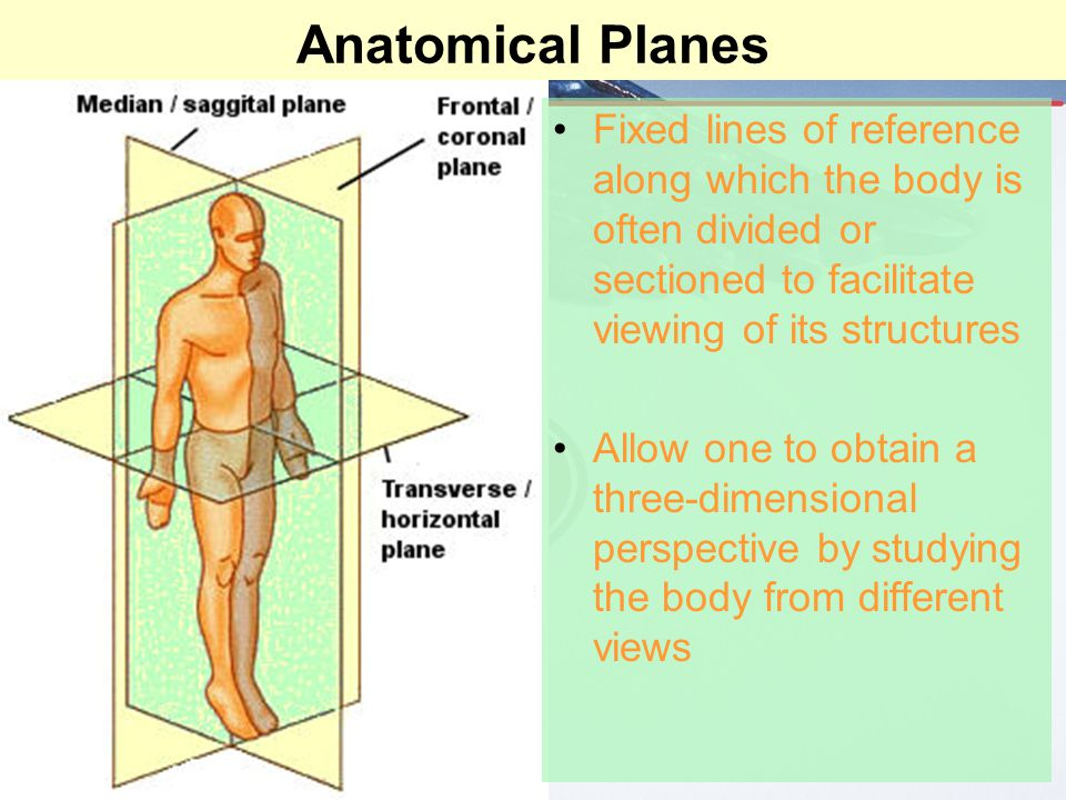 Anatomical Planes Fixed lines of reference along which the body is often divided or sectioned to facilitate viewing of its structures Allow one to obt