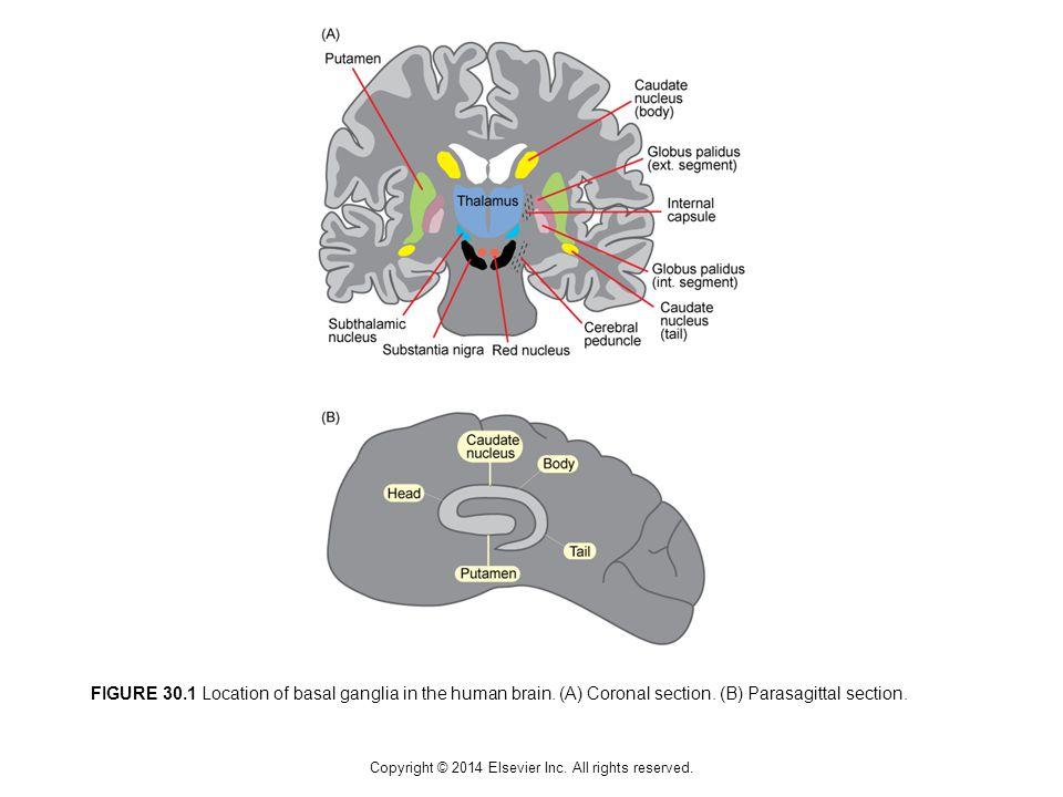 FIGURE 30.1 Location of basal ganglia in the human brain.