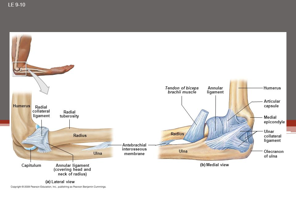 LE 9-10 Humerus Radial collateral ligament Radial tuberosity Radius Ulna Capitulum Annular ligament (covering head and neck of radius) Lateral view An