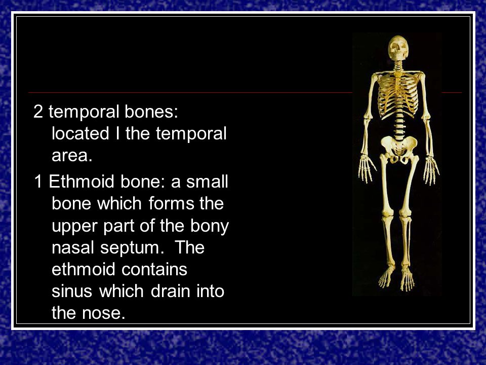 2 temporal bones: located I the temporal area.