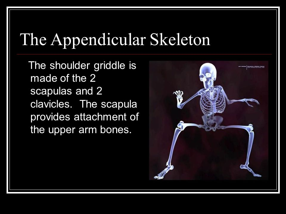 The Appendicular Skeleton The shoulder griddle is made of the 2 scapulas and 2 clavicles.