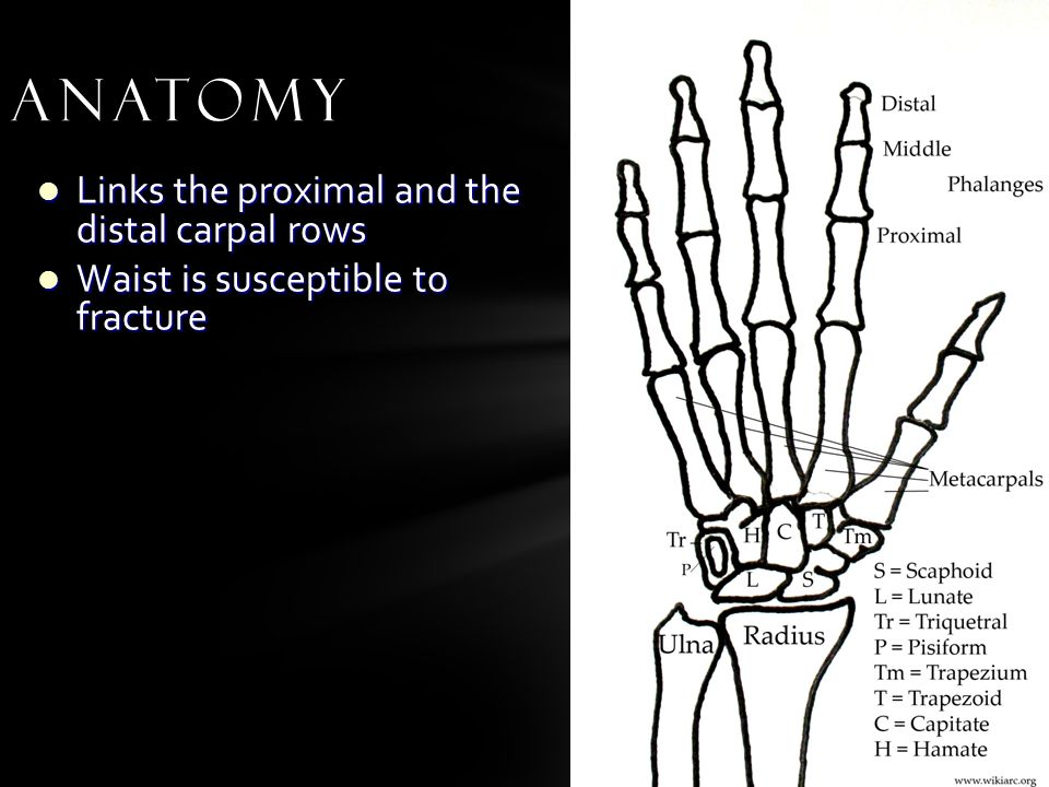 Links the proximal and the distal carpal rows Links the proximal and the distal carpal rows Waist is susceptible to fracture Waist is susceptible to fracture Anatomy