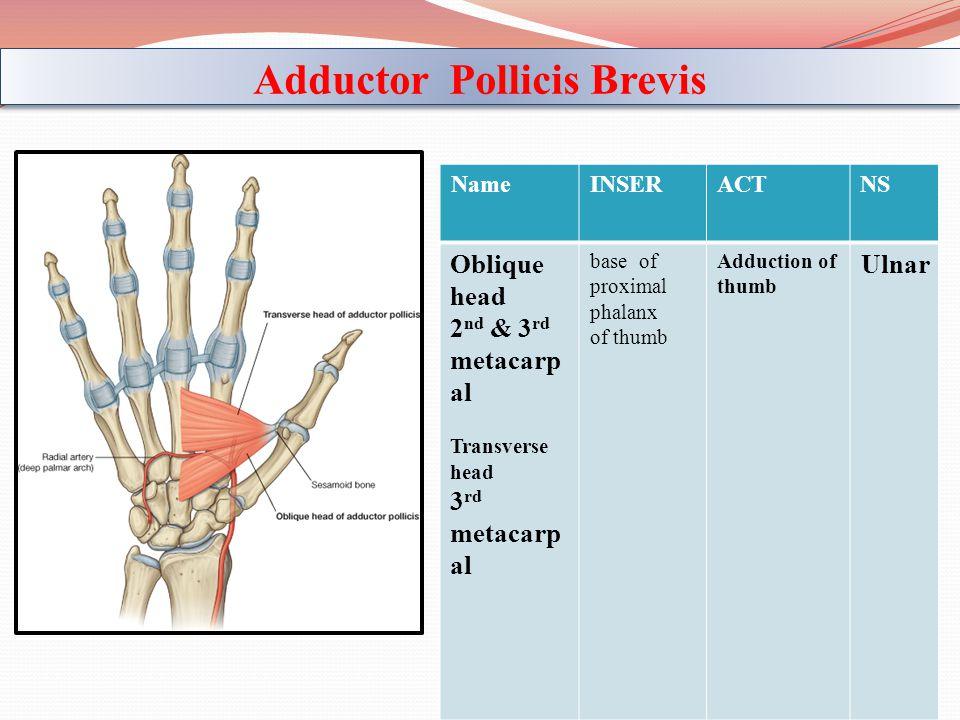 NSACTINSERName Ulnar Adduction of thumb base of proximal phalanx of thumb Oblique head 2 nd & 3 rd metacarp al Transverse head 3 rd metacarp al Adduct