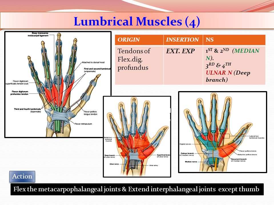 Lumbrical Muscles (4) ORIGININSERTIONNS Tendons of Flex.dig. profundus EXT. EXP 1 ST & 2 ND (MEDIAN N). 3 RD & 4 TH ULNAR N (Deep branch) Flex the met