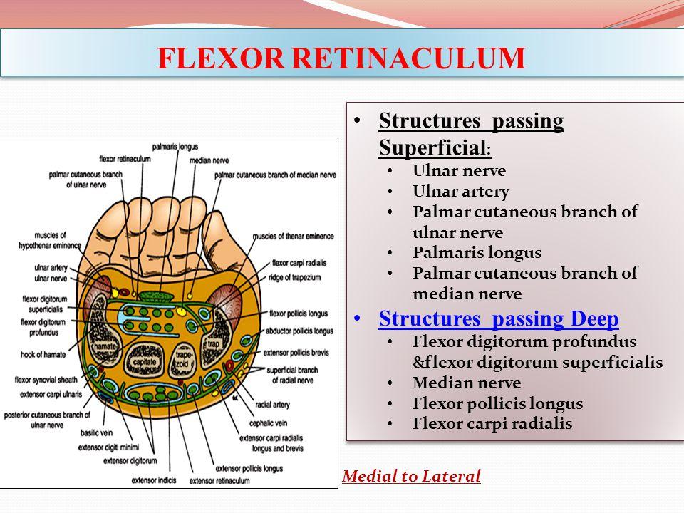 FLEXOR RETINACULUM Structures passing Superficial : Ulnar nerve Ulnar artery Palmar cutaneous branch of ulnar nerve Palmaris longus Palmar cutaneous b