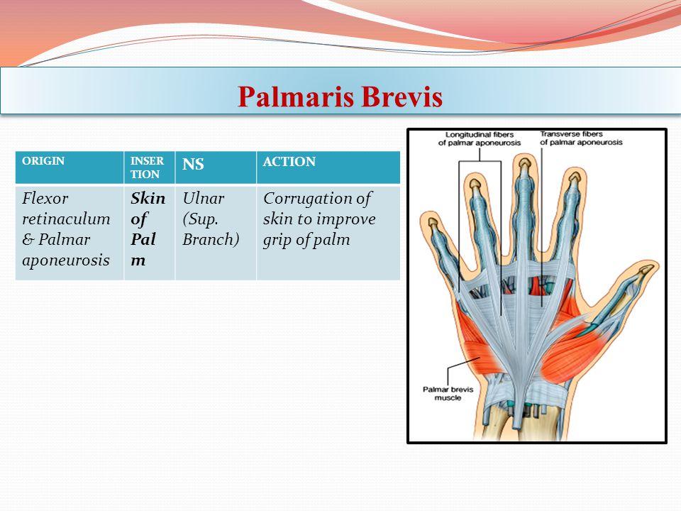 Palmaris Brevis ORIGININSER TION NS ACTION Flexor retinaculum & Palmar aponeurosis Skin of Pal m Ulnar (Sup. Branch) Corrugation of skin to improve gr
