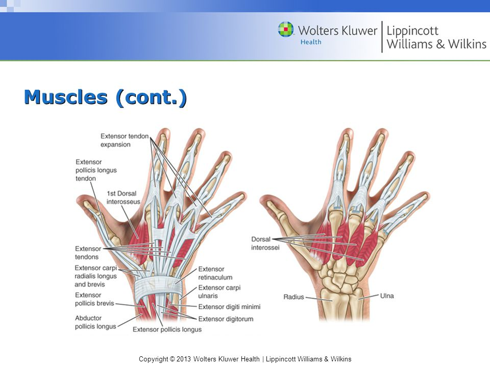 Copyright © 2013 Wolters Kluwer Health   Lippincott Williams & Wilkins Muscles (cont.) Tendon sheaths –Level of the metacarpal heads – point where flexor tendons enter a flexor tendon sheath –Annular pulleys Keep flexor tendons and sheath closely applied to phalanges –Cruciate pulleys Collapse to allow full digital flexion