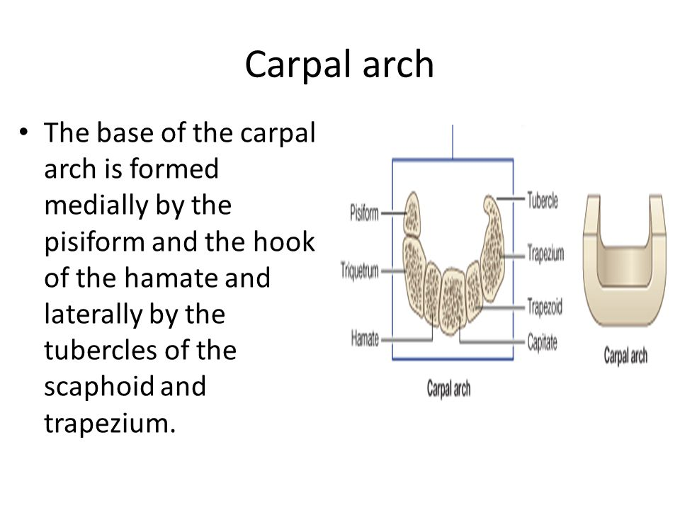The base of the carpal arch is formed medially by the pisiform and the hook of the hamate and laterally by the tubercles of the scaphoid and trapezium