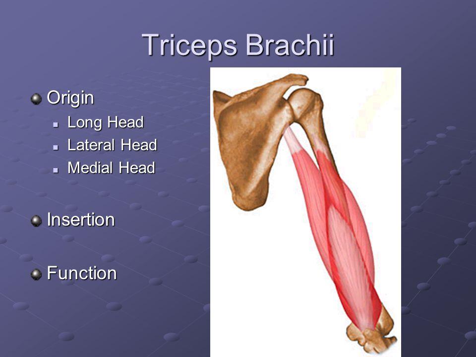Biceps Brachii Origin Short Head Short Head Long Head Long HeadInsertionFunction
