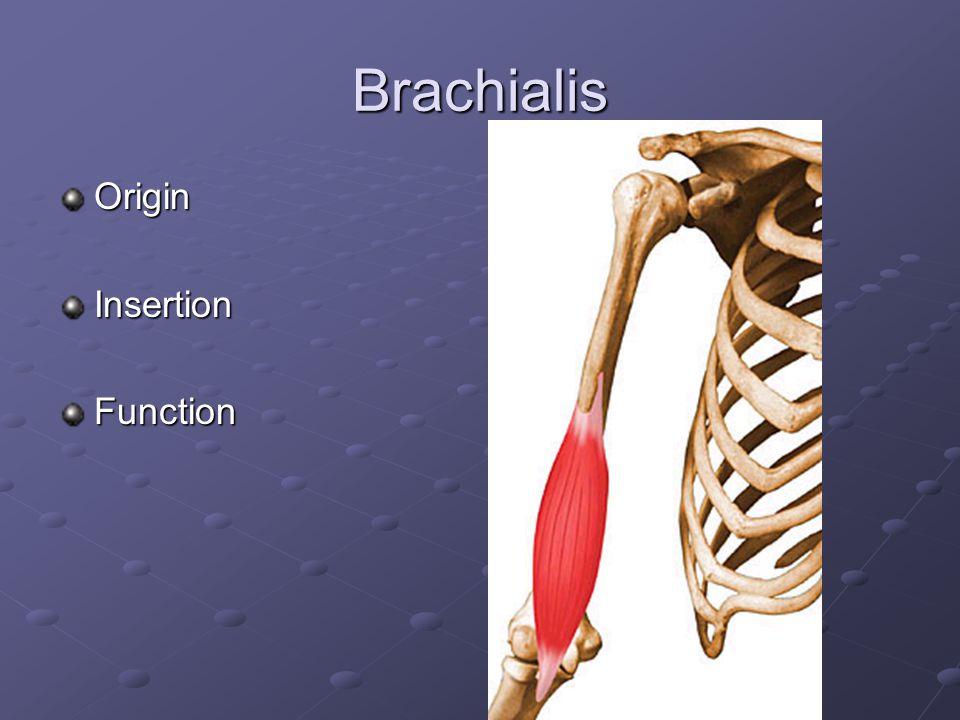 Triceps Brachii Origin Long Head Long Head Lateral Head Lateral Head Medial Head Medial HeadInsertionFunction