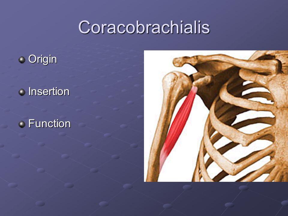 Brachialis OriginInsertionFunction