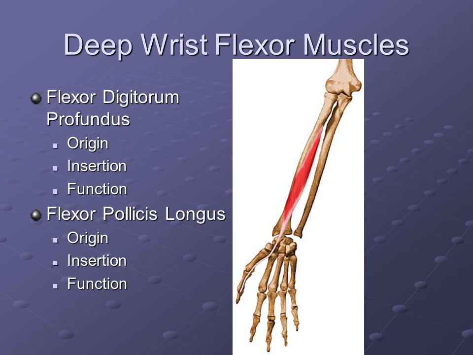 Superficial Wrist Flexor Muscles Flexor Carpi Radialis Origin Origin Insertion Insertion Function Function Palmaris Longis Origin Origin Insertion Ins