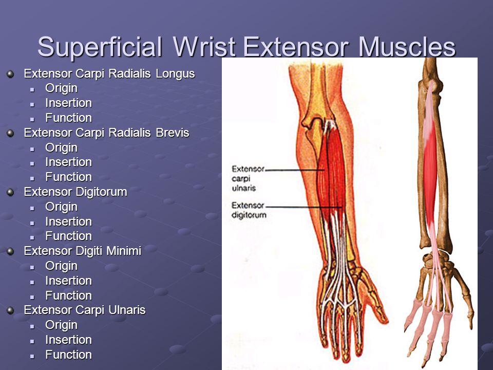 Deep Wrist Flexor Muscles Flexor Digitorum Profundus Origin Origin Insertion Insertion Function Function Flexor Pollicis Longus Origin Origin Insertio