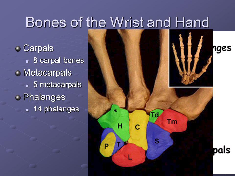 Bones of the Elbow Joint 3 bones Parts of the bones
