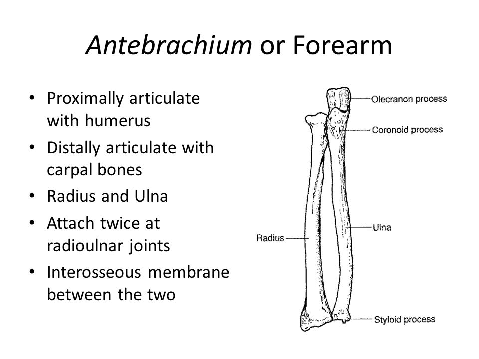 Antebrachium or Forearm Proximally articulate with humerus Distally articulate with carpal bones Radius and Ulna Attach twice at radioulnar joints Int