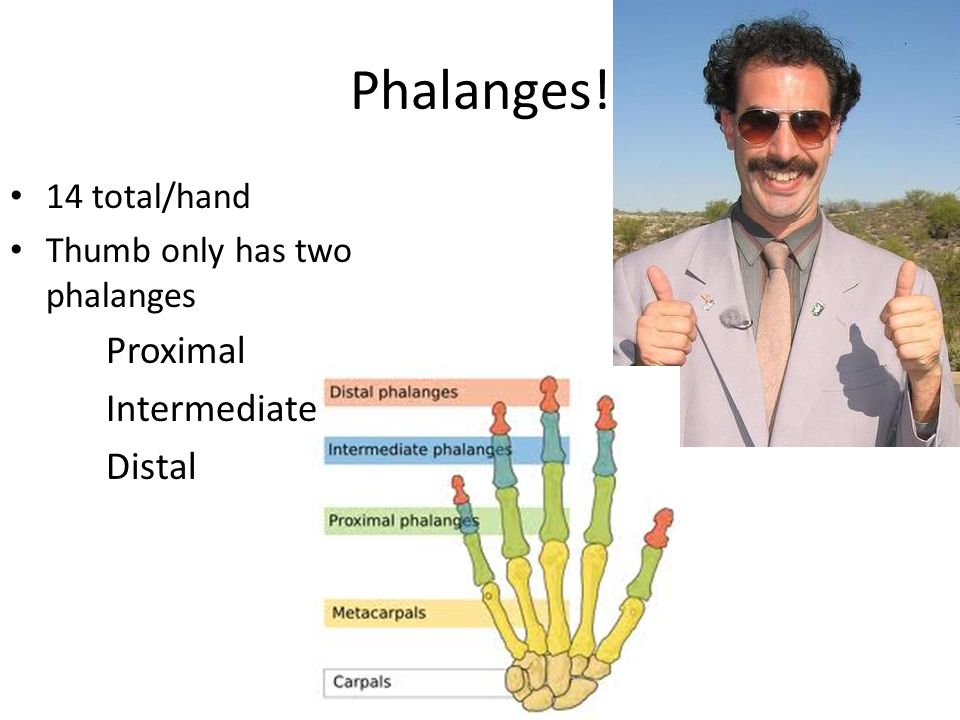 Phalanges! 14 total/hand Thumb only has two phalanges Proximal Intermediate Distal