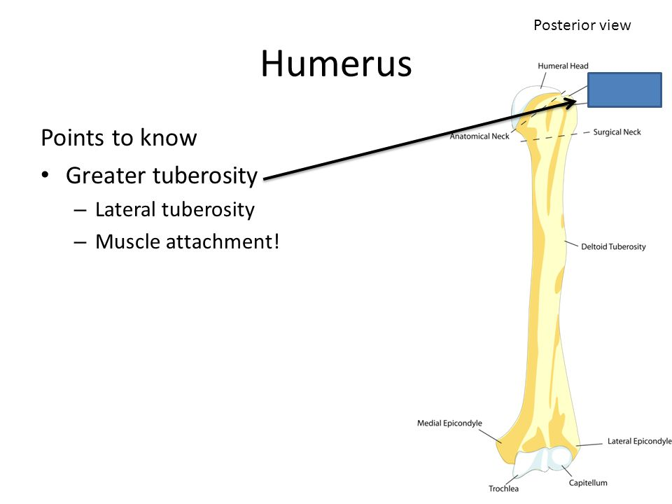 Humerus Points to know Greater tuberosity – Lateral tuberosity – Muscle attachment! Posterior view