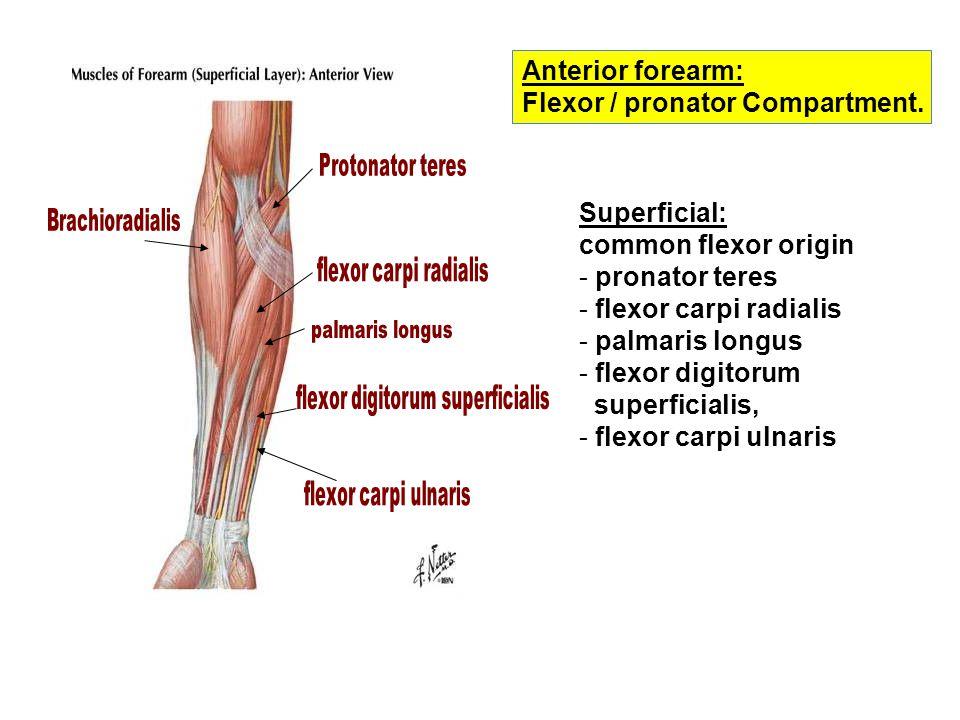 Anterior forearm: Flexor / pronator Compartment.