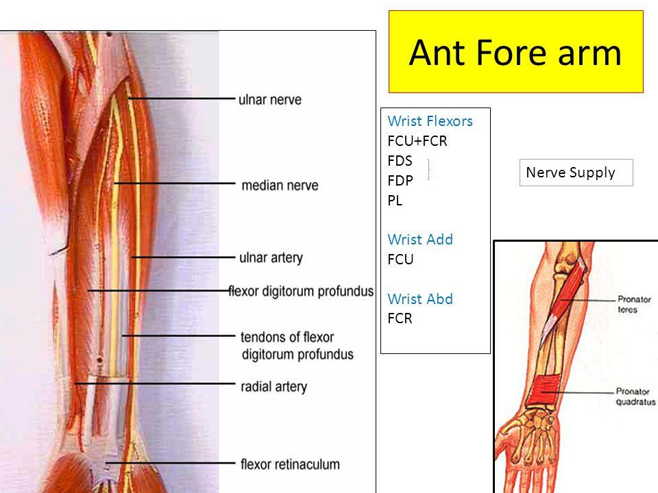 Ant Fore arm Wrist Flexors FCU+FCR FDS FDP PL Wrist Add FCU Wrist Abd FCR Nerve Supply