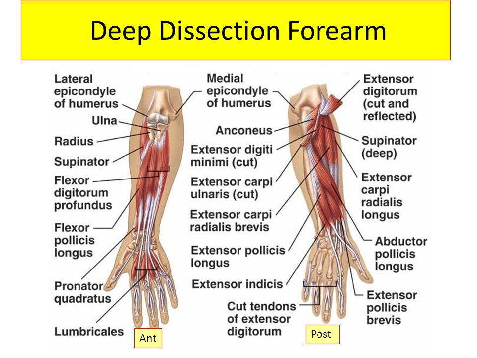 Deep Dissection Forearm Post Ant