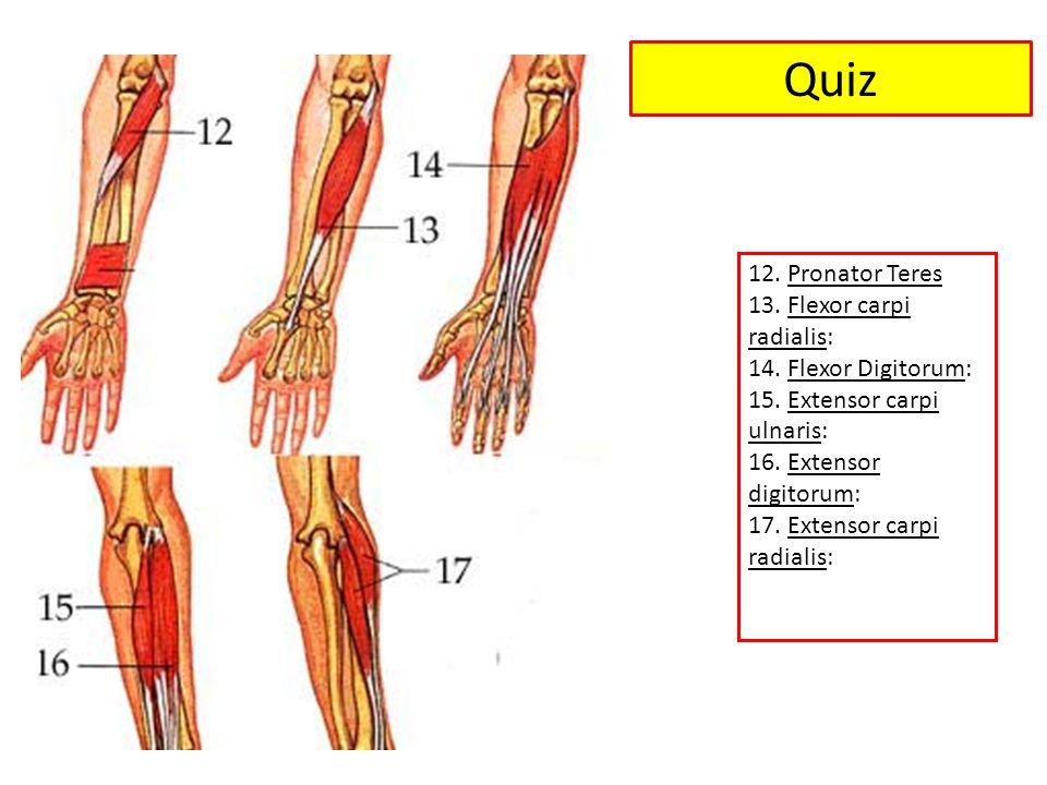 Quiz 12.Pronator Teres 13. Flexor carpi radialis: 14.