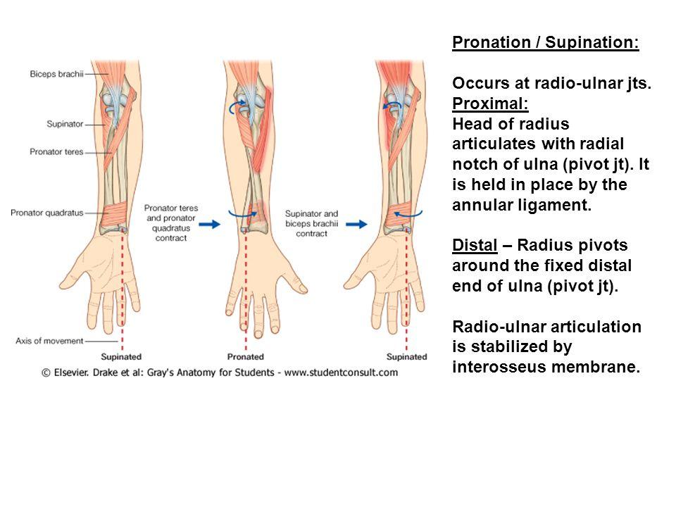 Pronation / Supination: Occurs at radio-ulnar jts.