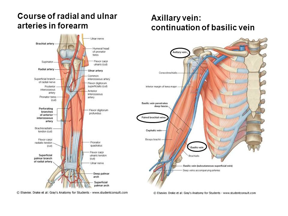 Course of radial and ulnar arteries in forearm Axillary vein: continuation of basilic vein