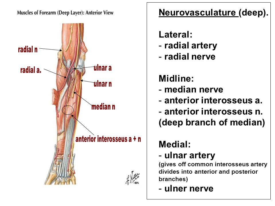 Neurovasculature (deep).