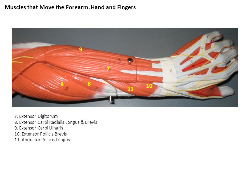 Muscles that Move the Forearm, Hand and Fingers 7. Extensor Digitorum 8. Extensor Carpi Radialis Longus & Brevis 9. Extensor Carpi Ulnaris 10. Extenso