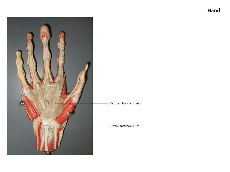 Palmar Aponeurosis Flexor Retinaculum Hand