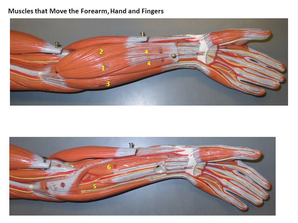 Muscles that Move the Forearm, Hand and Fingers 1 2 3 4 4 5 6