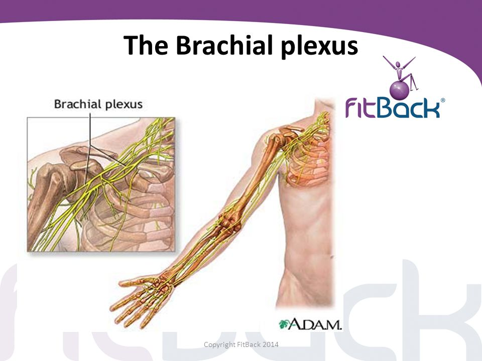 The Brachial plexus Copyright FitBack 2014