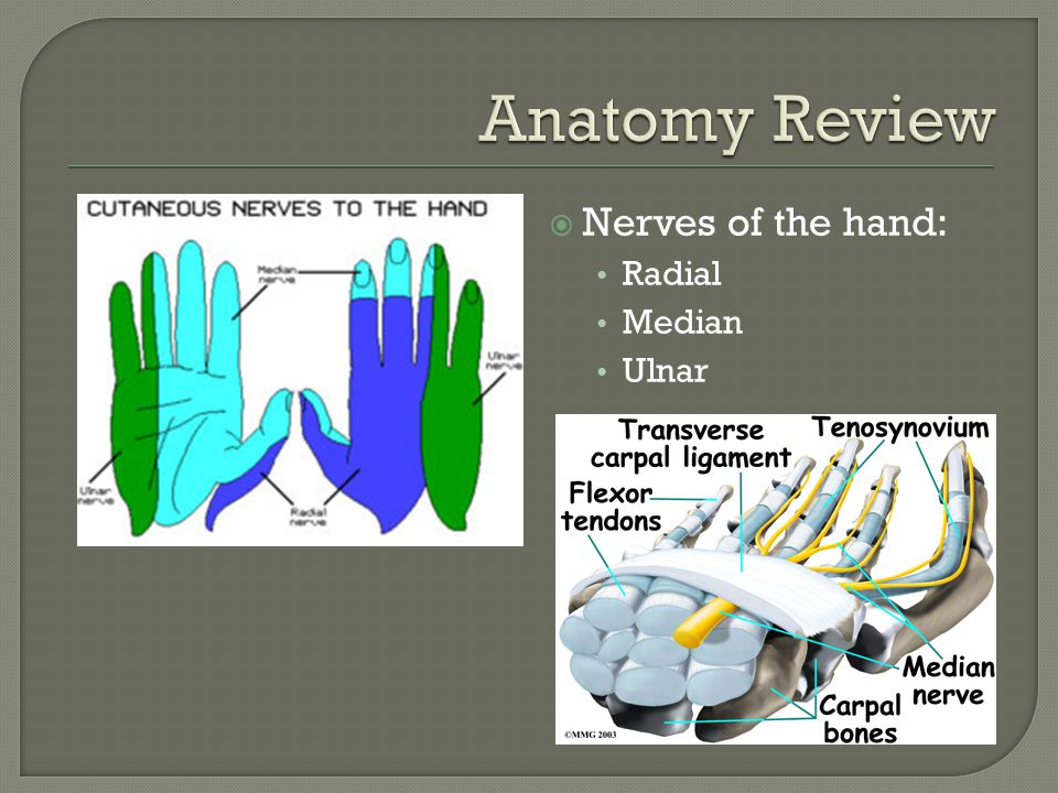  Nerves of the hand: Radial Median Ulnar