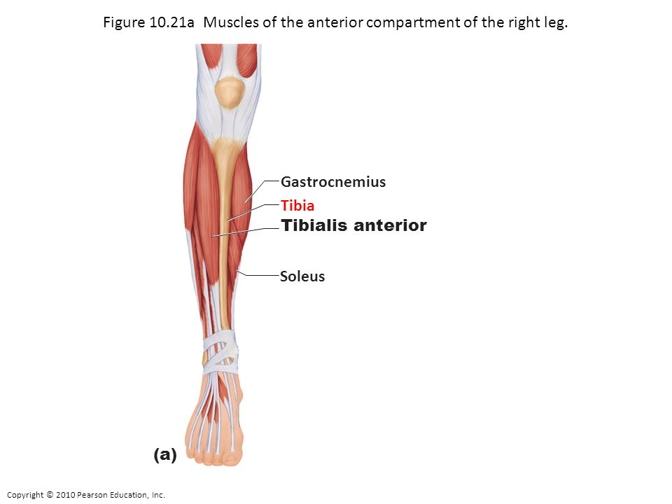 Copyright © 2010 Pearson Education, Inc. Figure 10.21a Muscles of the anterior compartment of the right leg. Gastrocnemius Tibia Tibialis anterior Sol