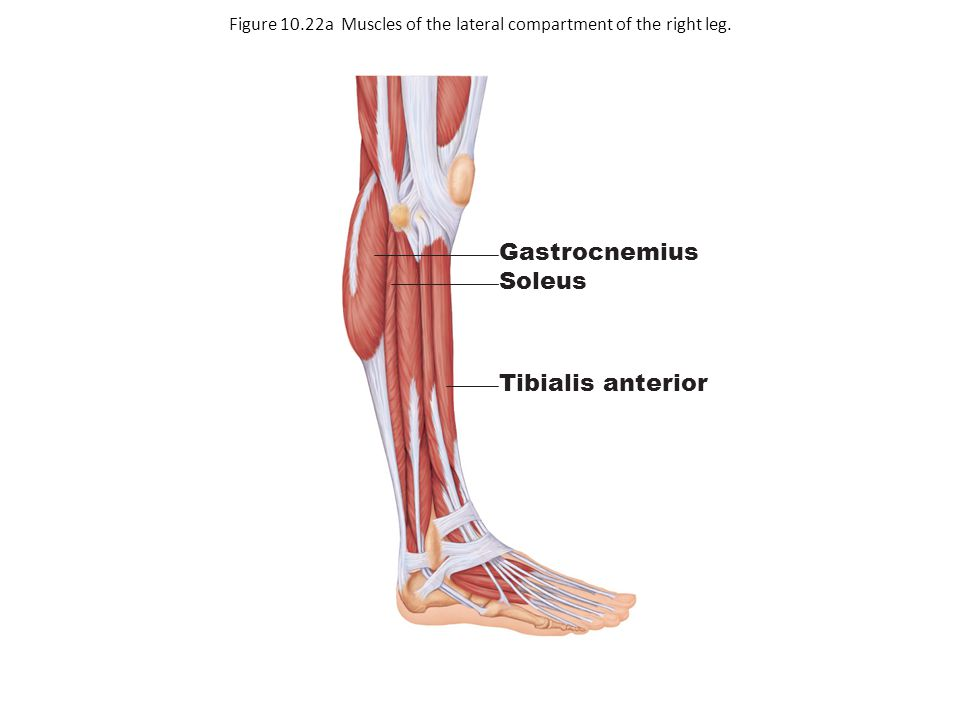 Gastrocnemius Soleus Tibialis anterior Figure 10.22a Muscles of the lateral compartment of the right leg.