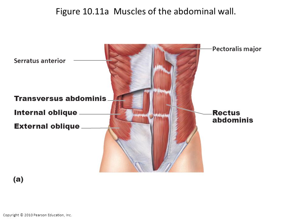 Copyright © 2010 Pearson Education, Inc. Figure 10.11a Muscles of the abdominal wall. Transversus abdominis Internal oblique External oblique (a) Pect