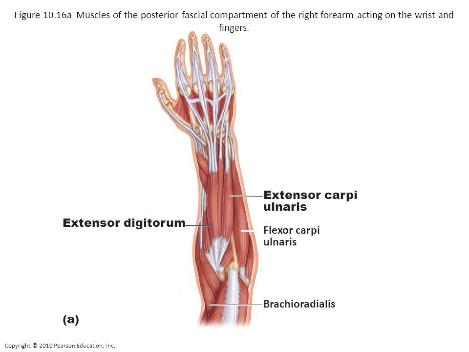 Copyright © 2010 Pearson Education, Inc. Flexor carpi ulnaris Extensor carpi ulnaris (a) Extensor digitorum Brachioradialis Figure 10.16a Muscles of t