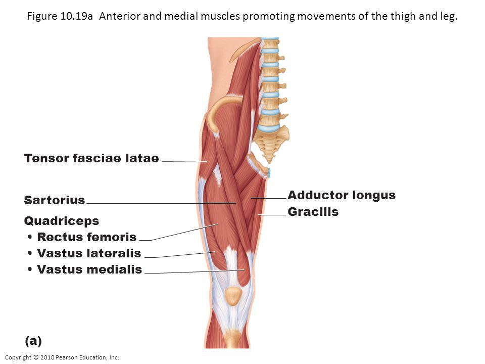 Copyright © 2010 Pearson Education, Inc. Figure 10.19a Anterior and medial muscles promoting movements of the thigh and leg. Tensor fasciae latae Sart