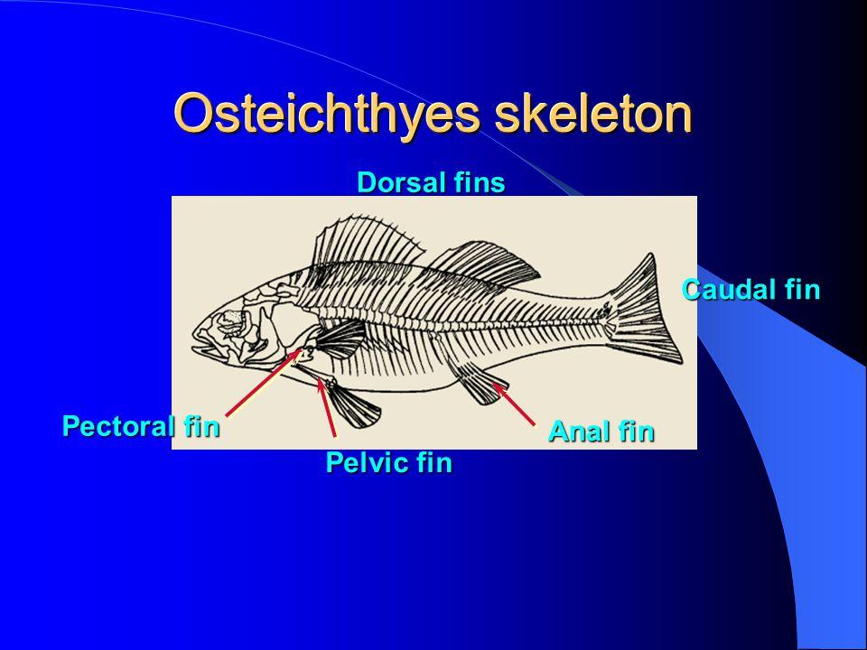 Pelvic Limb Muscles See Vertebrate Muscles page